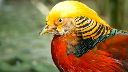 anka kuşu : Magnificent elegant male of Chinese Red Golden pheasant, Chrysolophus Pictus outdoors. Dazzling Conspicuous Handsome wild exotic bird with Spectacular Plumage and Colorful tail Feathers in real nature