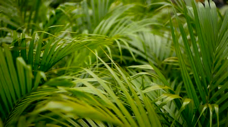 хлорофилл : Blur tropical green palm leaf with sun light, abstract natural background with bokeh. Defocused Lush Foliage, veines, striped exotic fresh juicy leaves in shadow. Ecology, summer and vacation concept. Стоковые видеозаписи