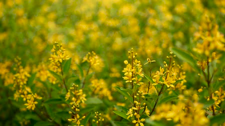 crescido : Spring field of small yellow flowers of Galphimia. Evergreen shrub of star-shaped Golden Thryallis glauca. Ornamental bloom in natural sunlight of Gold Shower. Summer meadow background, soft focus.