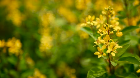 şeklinde : Spring field of small yellow flowers of Galphimia. Evergreen shrub of star-shaped Golden Thryallis glauca. Ornamental bloom in natural sunlight of Gold Shower. Summer meadow background, soft focus.