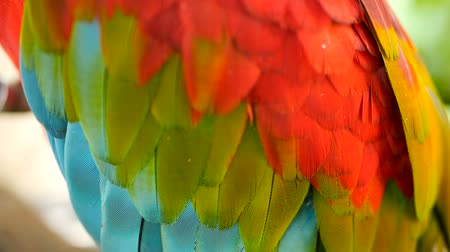 arara : Close up of Red Amazon Scarlet Macaw parrot or Ara macao, in tropical jungle forest. Wildlife Colorful selective focus portrait of bird with vibrant feathers from exotic nature. Vídeos