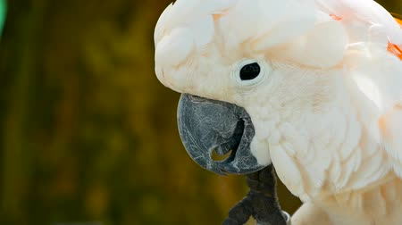 endemic : Salmon sulphur-crested cockatoo (Cacatua moluccensis), also known as the Moluccan or umbrella cockatoo. Portrait of white parrot, exotic endemic bird to tropical rainforest on islands of Indonesia Stock Footage