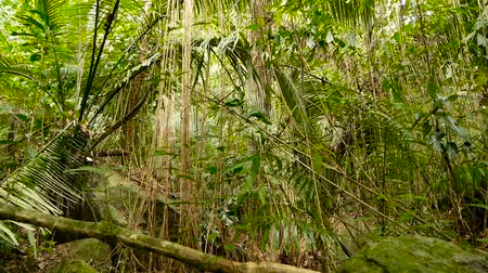 změť : Wild, vivid vegetation of deep misty tropical forest. Jungle landscape. Interior of exotic asia woods. Mossy lianas dangling from the rainforest canopy. Green natural background of subtropical forest.