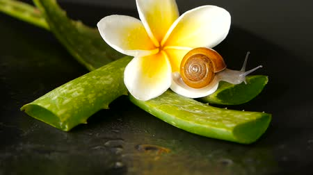 balçık : Mollusk walking on aloe vera leaf isolated, black background with frangipani plumeria tropical flower. Snail Serum moisturize cosmetic, beauty spa concept. macro closeup, soft focus. Mucus secretion.