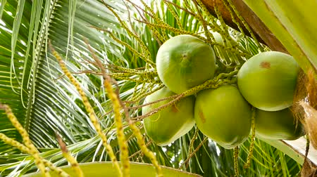 feixes : Close-up of exotic green palm tree leaves with cluster of young fresh round coconut fruit with milk inside. Natural texture. Tropical symbol. Summer evergreen plant. Healthy organic vegetarian food. Stock Footage