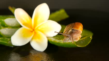 puhatestű : Mollusk walking on aloe vera leaf isolated, black background with frangipani plumeria tropical flower. Snail Serum moisturize cosmetic, beauty spa concept. macro closeup, soft focus. Mucus secretion.