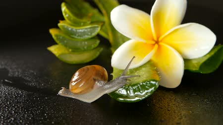 субтропический : Mollusk walking on aloe vera leaf isolated, black background with frangipani plumeria tropical flower. Snail Serum moisturize cosmetic, beauty spa concept. macro closeup, soft focus. Mucus secretion.