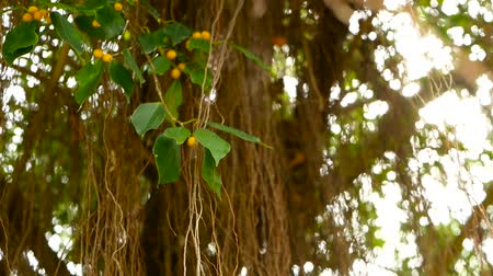 bulanik : Brown long aerial roots of big Indian banyan tree hanging down in sunlight and wind. Green leaves with yellow fruits and bokeh, blurred copy space. Natural abstract background. Tropical jungle forest. Stok Video
