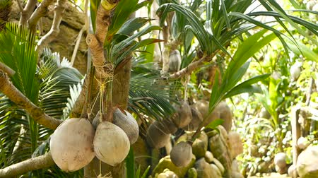 stone fruit : Coconuts growing as decoration in garden. Exotic tropical coconuts hanging on palms with green leaves lit by sun. Way to the beach on Koh Phangan