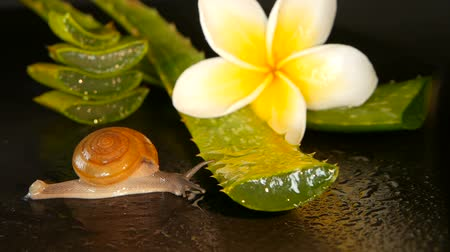 Вера : Mollusk walking on aloe vera leaf isolated, black background with frangipani plumeria tropical flower. Snail Serum moisturize cosmetic, beauty spa concept. macro closeup, soft focus. Mucus secretion.