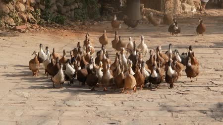 patan : Big group of domesticated ducks running across stone yard in sunlight. Nepal