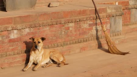 patan : Dog on stone street in sunlight. Big dog lying on pavement near red stone foundation of building in sunlight. daily life, oriental ancient city after earthquake. BHAKTAPUR, KATHMANDU, NEPAL Stock Footage
