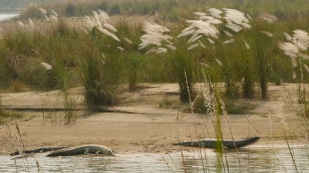 alligator head : Large Gharial or gavial fish-eating crocodile relaxing on the beach of rapti river, Chitwan National Park, Nepal. Mugger crocodile resting with open mouth on sandbank near breeding centre, summer day.
