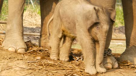 vitela : Elephant calf with mother in sunlight. Charming small baby of elephant standing near mother in bright sunlight outdoors. 9 days old cute baby. Wildlife