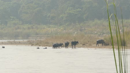 konzervált : Wild bulls on shore of national park river. View of black wild buffalos on coast of river in Chitwan national park in sunlight haze, Nepal