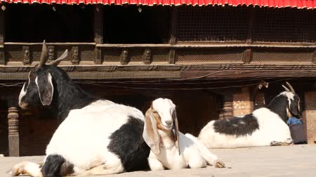 kecske : Resting Goat in Bhaktapur, Kathmandu. Daily life of oriental ancient city after earthquake. Animal laying on the street near the temple prepearing for sacrifice ritual.