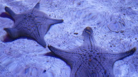 etoile de mer : Ocean tropical exotic Starfish on aquarium bottom. Closeup two amazing sea starfish lying on sandy bottom in clean aquarium water Vidéos Libres De Droits