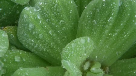 frágil : Water drops on plant leaves. From above closeup leaves of green plant with drops of clean fresh water