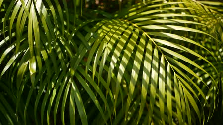 Blur tropical green palm leaf with sun light, abstract natural background with bokeh. Defocused Lush Foliage, veines, striped exotic fresh juicy leaves in shadow. Ecology, summer and vacation concept. Stock mozgókép