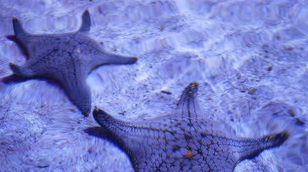Ocean tropical exotic Starfish on aquarium bottom. Closeup two amazing sea starfish lying on sandy bottom in clean aquarium water Stock mozgókép