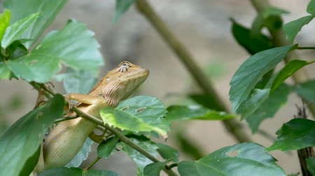 A small exotic bloodsucker lizard sits in the middle of lush green foliage, jungle in tropics, natural background with reptiles. extraordinary unusual Life in the forest, cold-blooded animal.