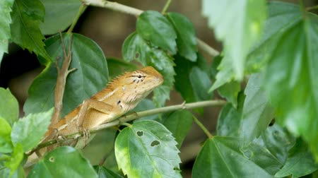 maravilha : A small exotic bloodsucker lizard sits in the middle of lush green foliage, jungle in tropics, natural background with reptiles. extraordinary unusual Life in the forest, cold-blooded animal.
