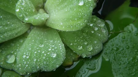 Water drops on plant leaves. From above closeup leaves of green plant with drops of clean fresh water