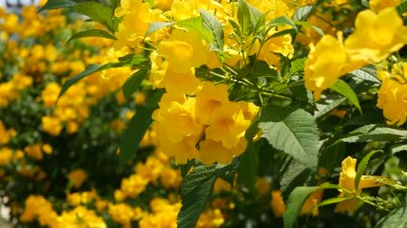 tropical insects : Beautiful yellow flowers in bunches on the branches of a bush. Natural floral background. Spring mood, sunny and bright contrast of colors, tropical exotic plants with green leaves from paradise Stock Footage