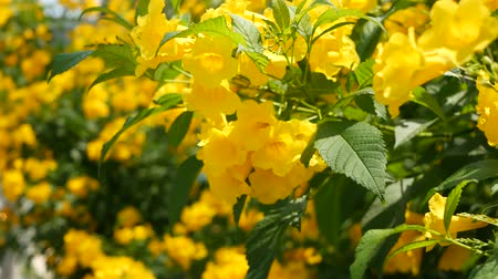 Beautiful yellow flowers in bunches on the branches of a bush. Natural floral background. Spring mood, sunny and bright contrast of colors, tropical exotic plants with green leaves from paradise Stock mozgókép