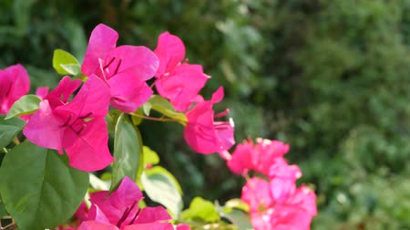 Flowers on bushes in garden. Closeup white and pink blooms on green shrubs in park on blurred background