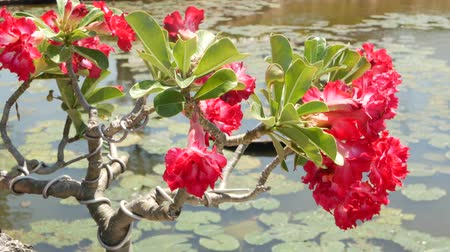 leknín : Blooming bonsai tree near pond. Beautiful small bonsai tree with red flowers growing near calm pond with waterlilies in thai style oriental traditional garden on sunny day.