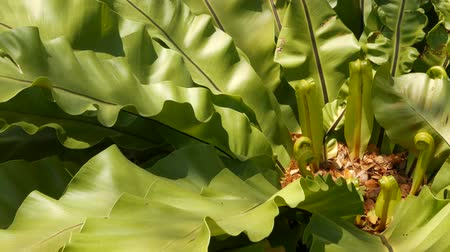trópicos : Birds Nest fern, Asplenium nidus. Wild Paradise rainforest jungle plant as natural floral background. Abstract texture close up of fresh exotic tropical green fresh curly leaves in fantasy dark woods
