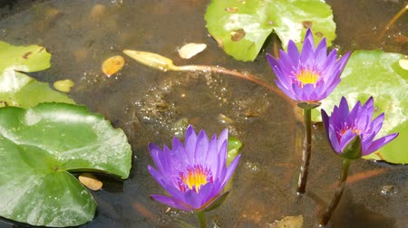 szag : Floating water lilies in pond. From above of green leaves with pink water lily flowers floating in tranquil water. symbol of buddhist religion on sunny day. Floral background