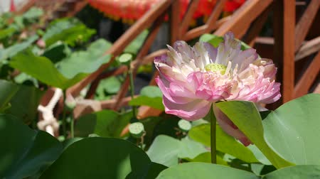 armoni : Pink lotus flower with green leaves in pond. Beautiful partly white lotus flower as symbol of Buddhism floating on pond water on sunny day. Buddhist religion. Floral background