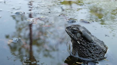 žába : Toad in calm pond. Small toad sitting in bubbling water of tranquil pond in nature. Wildlife