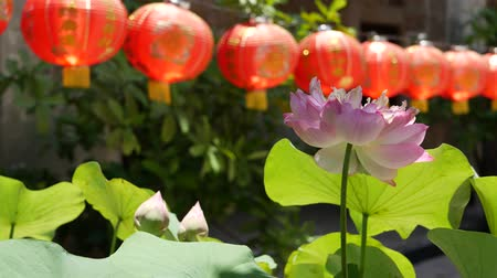 cny : Red paper lanterns hanging in temple yard on sunny day between juicy greenery in oriental country. traditional chinese new year decoration. Pink lotus flower with green leaves as symbol of Buddhism Stock Footage