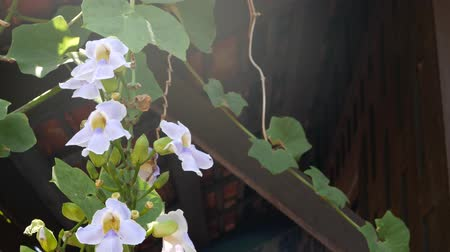 frágil : Blooming vine outside house. Green wine with pretty white flowers climbing on wall of wooden traditional thai style house on sunny day