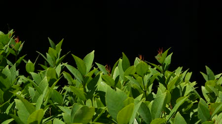 armoni : Green plant growing on plantation. Plant with green leaves growing on plantation against black background