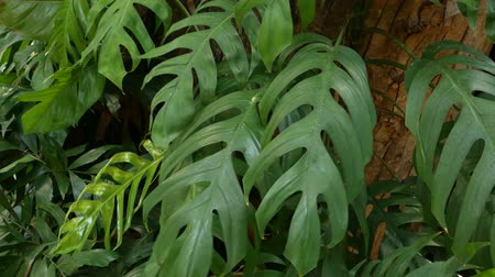 зелень : Bright juicy exotic tropical greens in the jungle forest equatorial climate. Background with unusual plant foliage swaying. Natural texture with juicy leaves. Sunlight on the palm leaf