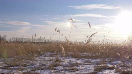 takımadalar : Common reed (Phragmites australis) in winter with snow. Early Spring in Latvia.