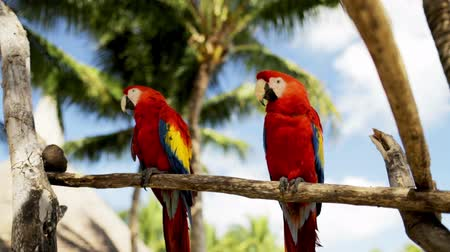 ara papagáj : nature and wild birds concept - close up of two red parrots sitting on perch