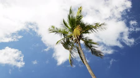 coconut palm tree : vacation, nature and background concept - palm tree over blue sky with white clouds Stock Footage
