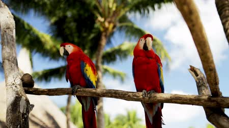 arara : nature and wild birds concept - close up of two red parrots sitting on perch