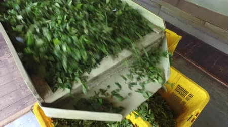 herbal : agriculture, manufacture, industry and farming concept - fresh green tea leaves falling from machine to baskets on factory