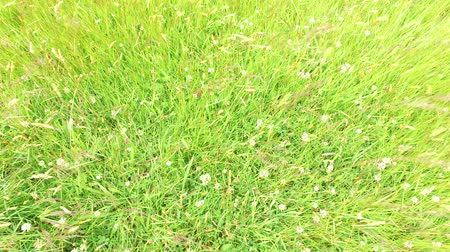 jetel : clover and grass growing on meadow or field 48