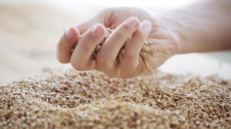 otruby : male farmers hand pouring malt or cereal grains
