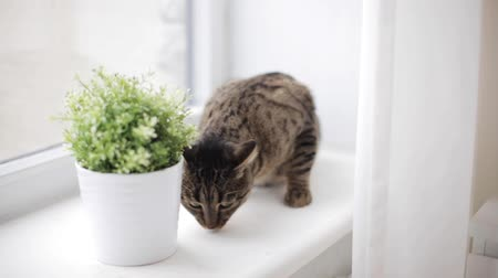 cheirando : cat on window sill smelling flower in pot at home
