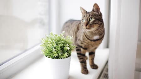 purebred cat : cat on window sill at home