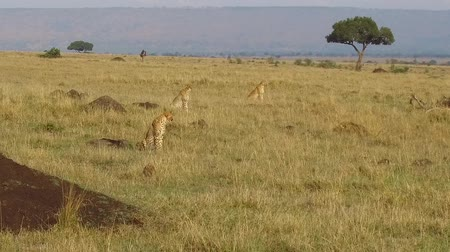 polowanie : cheetahs hunting in savanna at africa