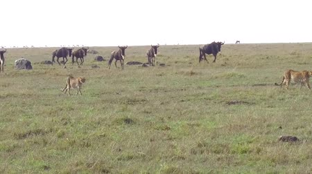 ghepardo : Ghepardi e wildebeests in savana in africa